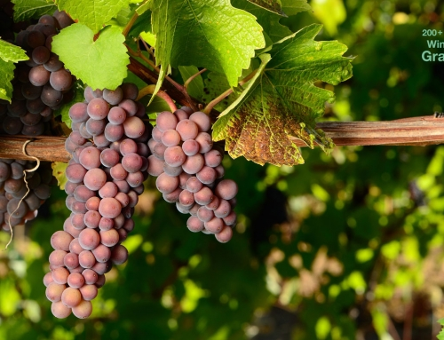"""Burgunder"" Wine Grapes, part II"