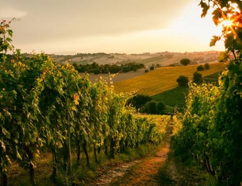 Pecorino – from Cheese to Wine